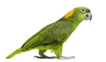 zijaanzicht van een gele papegaai lopen (6 jaar oud)