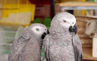 Closeup of African Grey parrots