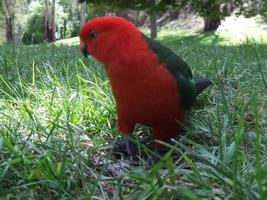 King parrot foraging