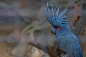 Black or Palm Cockatoo