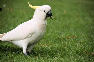 Cockatoo in gardens.