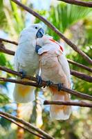 Pair of cockatoo photo
