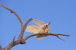 Little Corellas on a Dead Limb
