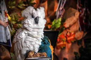papagaio cacatua branca