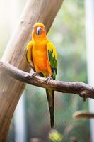 papagaio de conure do sol