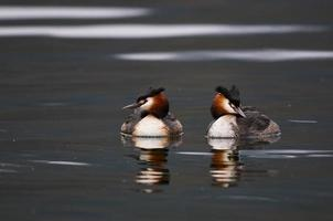 great crested grebe  (Podiceps cristatus