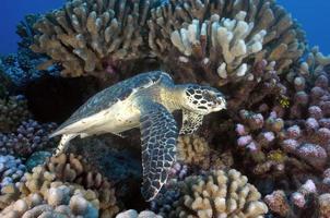HAWKBILL SEA TURTLE/tortue à écaille