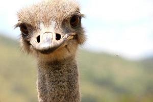 One ostrich close-up of his head and neck.