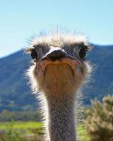 mirada de muerte de avestruz
