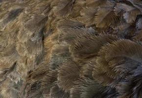 plumagem de avestruz cinza fotografada perto