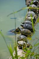 tortugas tomando el sol foto