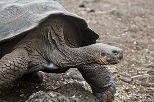 Galapagos turtle photo