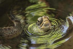 cabeza de tortuga foto