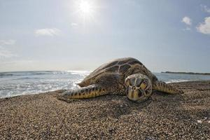 Green Turtle while relaxing on sandy beach