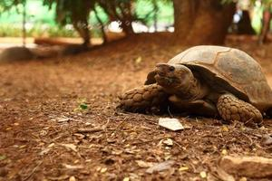 Crawling tortoise in the nature