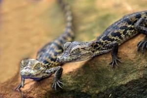 closeup baby Crocodile