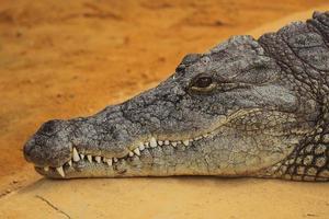 photograph of the head of a nile crocodile