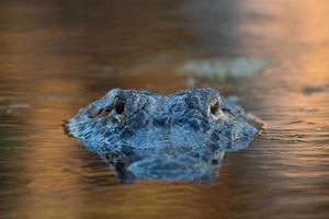 gran cocodrilo americano en el agua foto