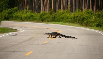 cocodrilo cruzando la carretera foto