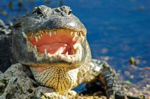 Un cocodrilo con la boca abierta, parque nacional de los Everglades foto