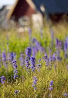 Wildflower echium vulgare.GNN photo
