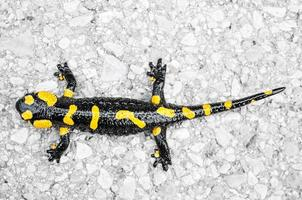 Black yellow spotted fire salamander