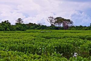 vegetação pantanal