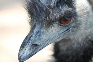 mirada de avestruz foto