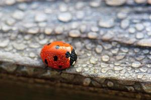 Dew Covered Ladybug photo