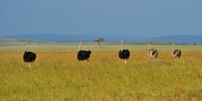 Ostriches in Kenya
