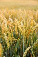 Ripe wheat ears on field as background photo