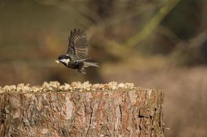 Coal tit, Periparus ater,flying from a tree stump