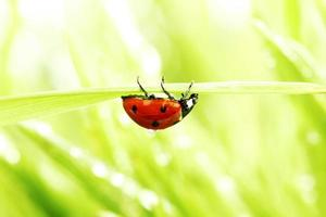 ladybug on grass photo