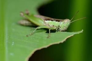 Macro of Grasshopper eating green leaf