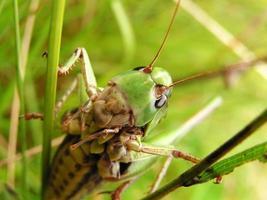 Grasshopper. photo