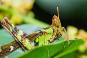 short horn grasshopper