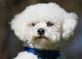 Bichon Frise dog outdoors in nature photo