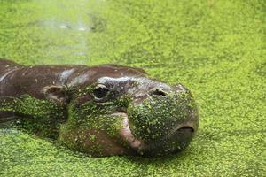 hipopótamo pigmeo foto