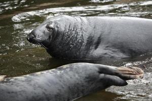 foca gris (halichoerus grypus).