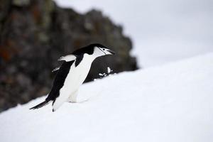 Pingüino de barbijo corriendo montaña arriba foto
