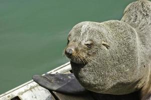 foca africana foto