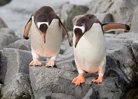 saltando pingüinos gentoo foto