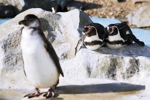 Germany, Koeln, Humboldt Penguins in zoo photo
