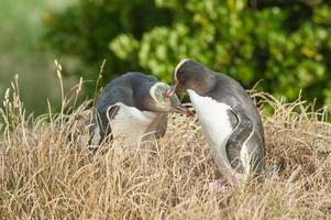 pingüinos de ojos amarillos foto