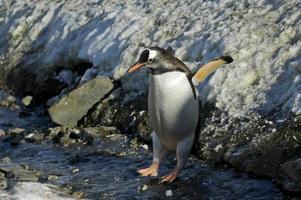 Pingüino Gentoo saltando por el hielo en la Antártida foto
