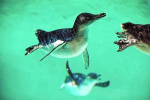 Penguins swimming in the water photo
