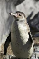 Humbolt penguin photo