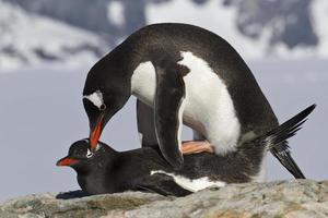 pingüino hembra y macho gentoo durante el apareamiento