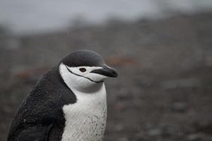 Pingüino de barbijo en la Antártida foto