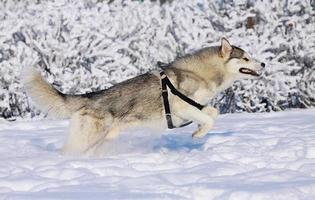 husky runs photo